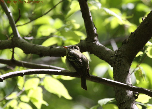 Acadian Flycatcher sitting in the canopy