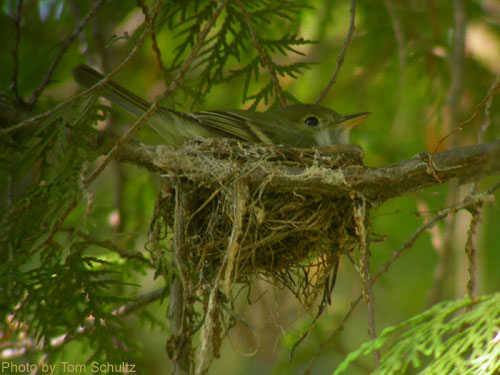 Acadian Flycatcher sitting in a nest