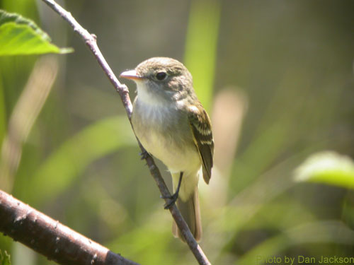 Alder Flycatcher in the thicket