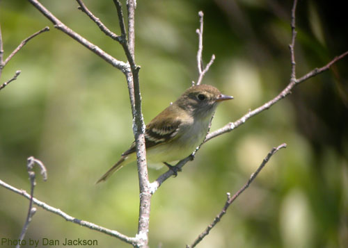 Alder Flycatcher from the side