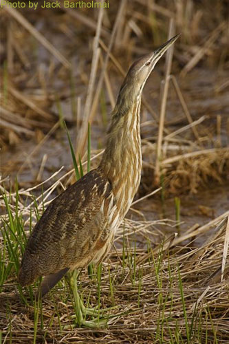 American Bittern posing with head tilted up