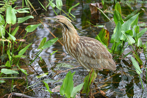 American Bittern hiding among the wetland plants