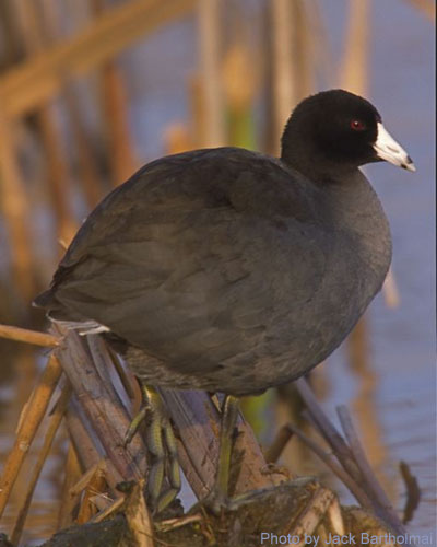 Amercian Coot standing among the marsh plants