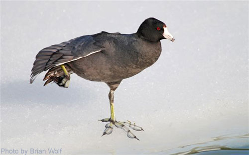 Amercian Coot standing on Ice; notice scallop toes