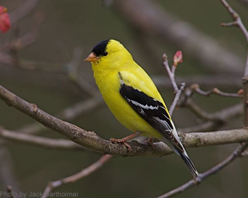 Close up of an American Goldfinch on a branch