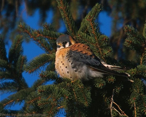 American Kestrel sitting in spruce tree