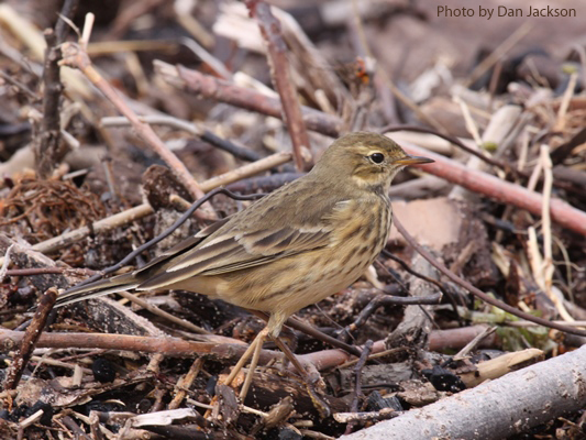 An American Pipit among sticks
