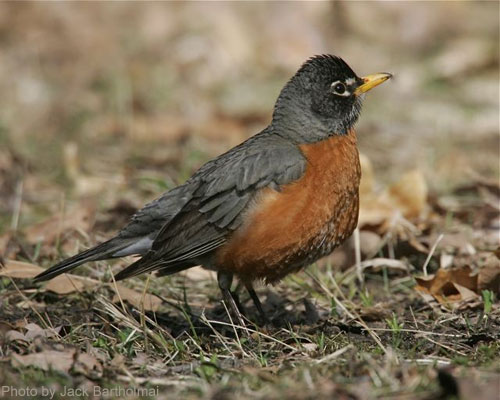 American Robin on the ground