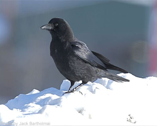 American Crow on a snow pile
