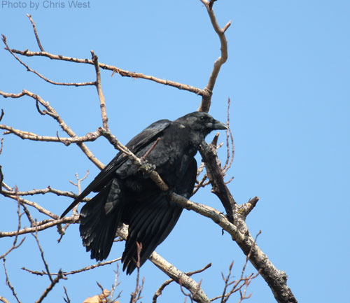 American Crow seen roosting in tree branch