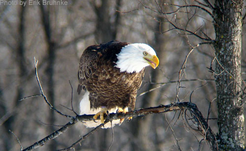 Bald Eagle on a branch