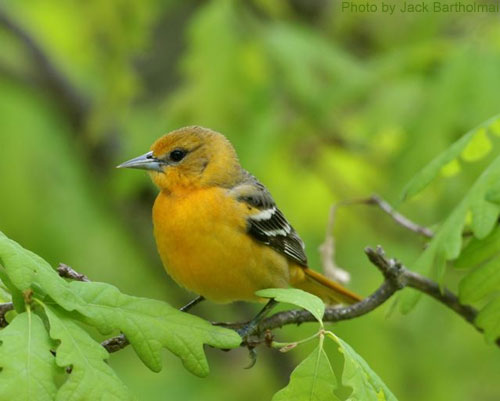 Famle Baltimore oriole hiding among the oak leaves