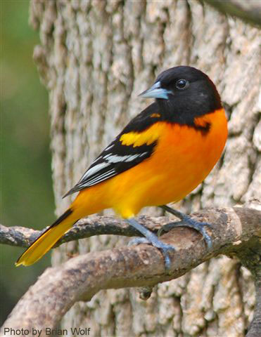 A male baltimore oriole looking so sharp