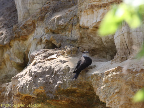 Bank Swallow on a rock ledge