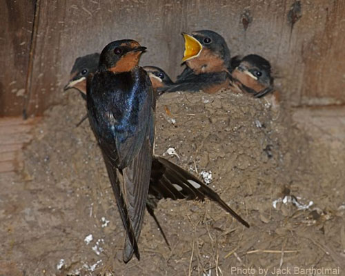 Adult Barn Swallow at nest with little ones