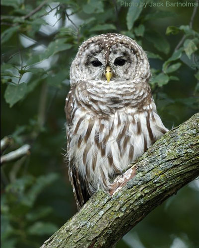 Close Up of a barred owl