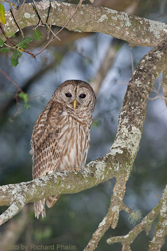 Barred Owl perched in branch