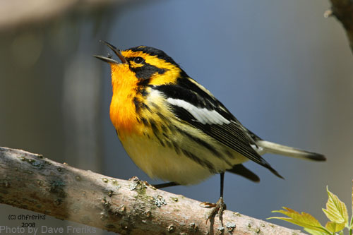 Blackburnian Warbler singing from the tree