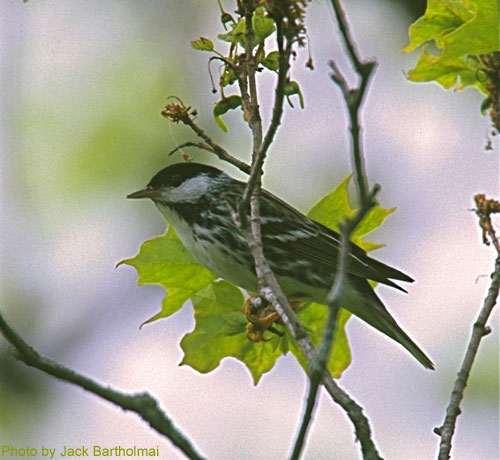 Blackpoll Warbler sitting on maple branches