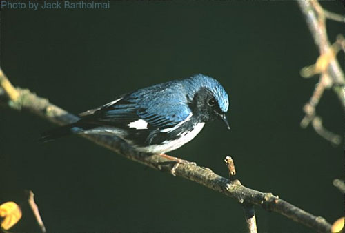 Black-throated Blue Warbler on abranch, dark background