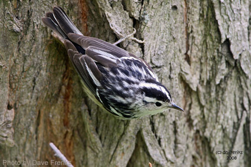Black-and-White Warbler foraging on a tree trunk