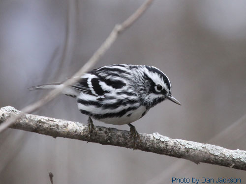 Black-and-White warbler positioned on tree branch