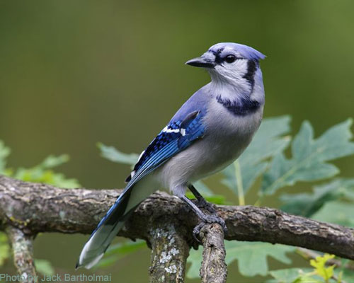 Blue Jay with Oak leaves in the background