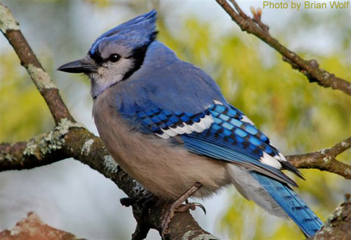 Close up photo of a Blue Jay