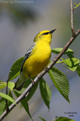 Blue-winged Warbler singing in a tree branch