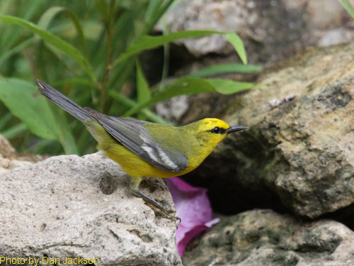 Blue-winged Warbler on the rocks