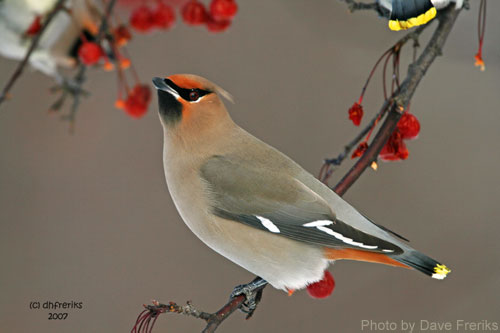 Bohemian Waxwing looking for a meal among the berries