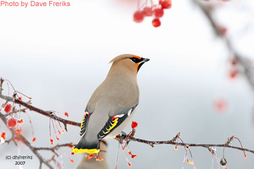 Bohemian Waxwing on branch dislaying tail feathers