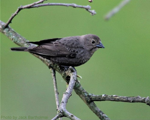 Female Cowbird looking for a nest