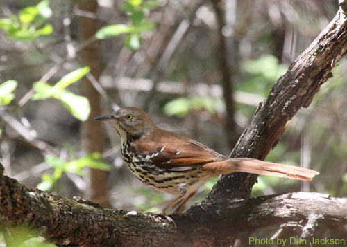 Brown Thrasher on a tree branch