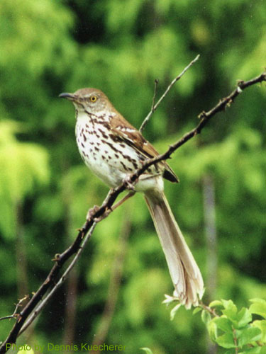 Brown Thrasher showing long tail