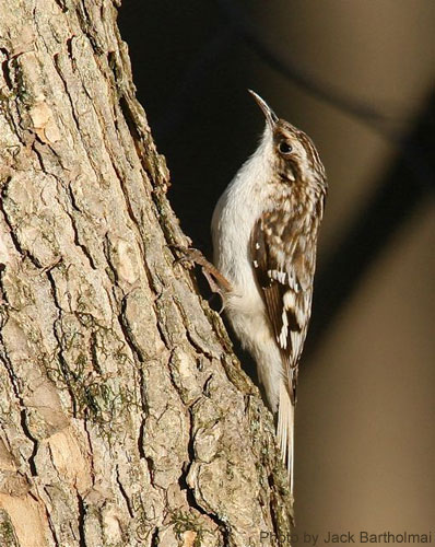 Close up of a brown creeper on a tree trunk