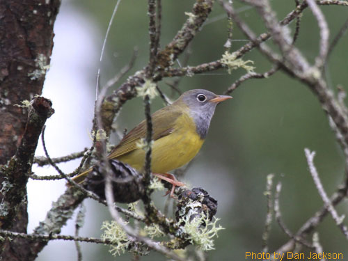 Looking up at the Connecticut Warbler