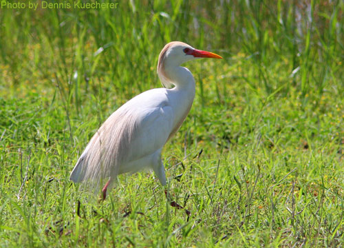 Cattle Egret walking in field