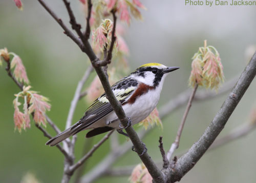 Chestnut-sided warbler from below