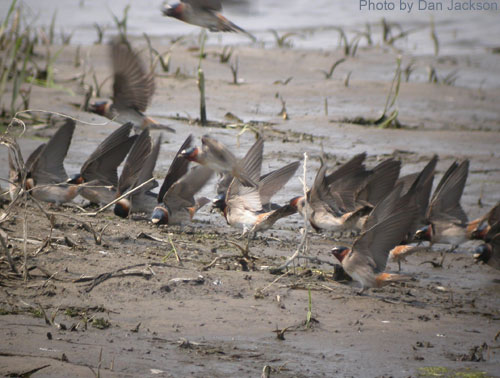 Group of Cliff Swallows on a mud flat