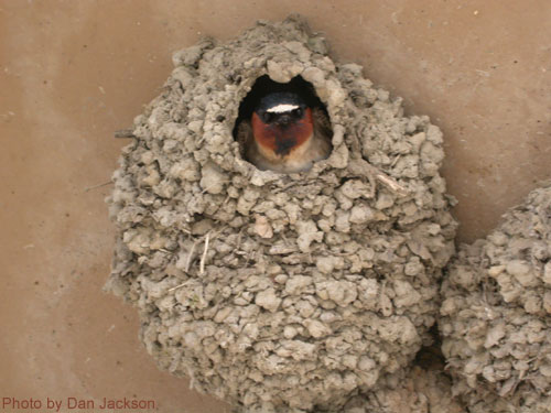 Cliff Swallow peeking out from nest