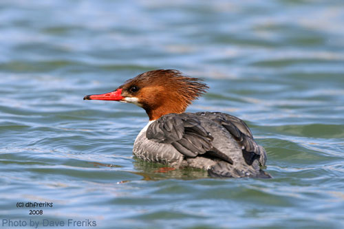 Female Common Merganser on pond