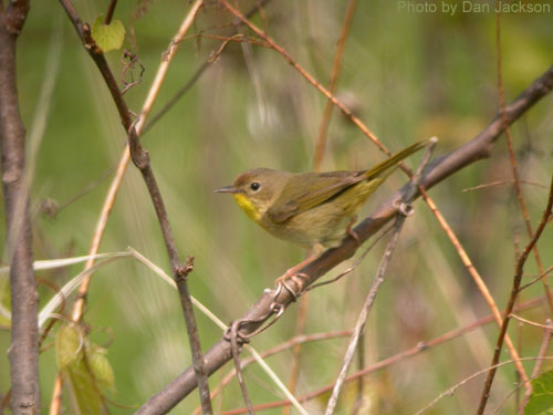 Female Common Yellowthroat lacks the black mask