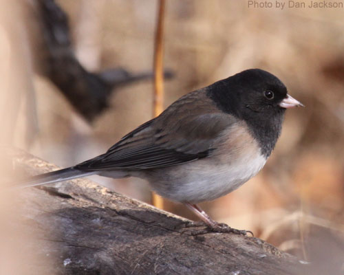 Dark-eyed Junco in profile, perched on a log