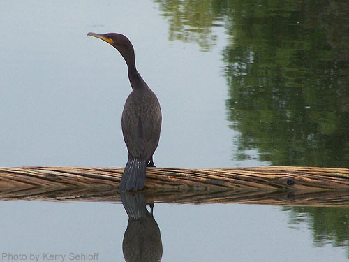 Double-crested Cormorant on log in water