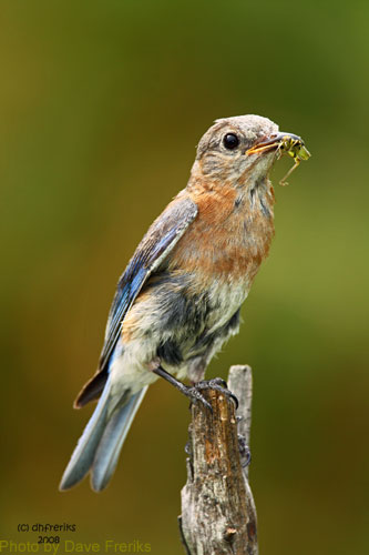 Female Bluebird noted by more drap colors with insect in mouth