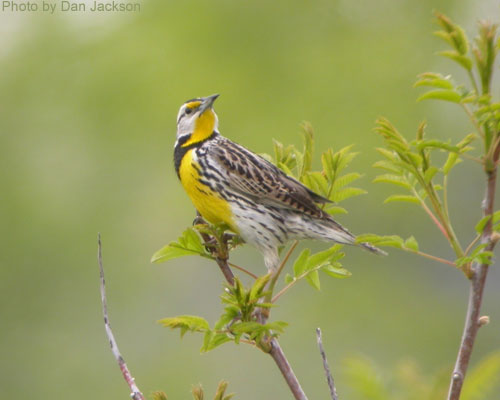 Eastern Meadowlark showing off its markings