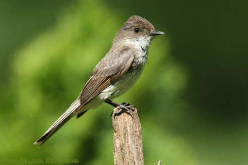 Profile of an eastern Phoebe