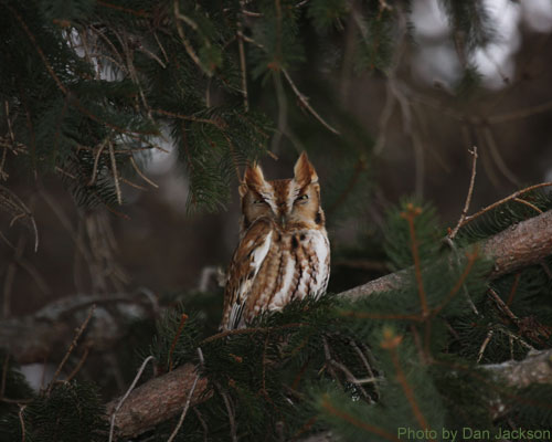 Eastern Screech Owl hiding among the pine branches