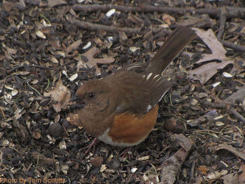 Eastern Towhee Female forages on the ground